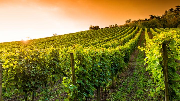 Labores del viticultor